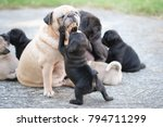 Stock photo new born pug dog playing with mama pug dog 794711299