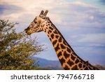 male giraffe eating acacia... | Shutterstock . vector #794766718