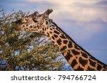 male giraffe eating acacia... | Shutterstock . vector #794766724