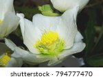 black hellebore also known as...   Shutterstock . vector #794777470
