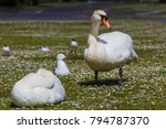 Cute White Swans And Seagulls