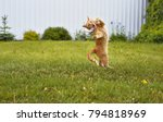 Stock photo ginger cat catches mouse in jump on a grass background 794818969