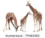 giraffes isolated | Shutterstock . vector #79483582