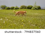 ginger cat carries the caught... | Shutterstock . vector #794837560