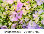 closeup image of pink hydrangea | Shutterstock . vector #794848783