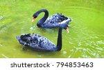 beautiful black two swan  | Shutterstock . vector #794853463