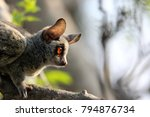 bush baby intense staring from... | Shutterstock . vector #794876734