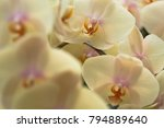 phalaenopsis is an orchid one... | Shutterstock . vector #794889640