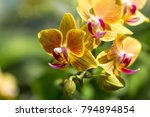 phalaenopsis is an orchid one... | Shutterstock . vector #794894854