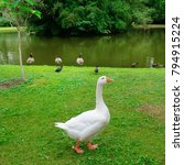 white goose on a green lawn.... | Shutterstock . vector #794915224