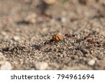 ant carrying a big seed | Shutterstock . vector #794961694