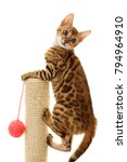 Stock photo bengal cat kitten climbing a scratch post isolated on white background 794964910