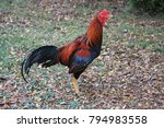a gamecock or fighting cock ... | Shutterstock . vector #794983558
