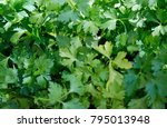 fresh parsley herb close up... | Shutterstock . vector #795013948