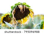 natural of withered flowers of...   Shutterstock . vector #795096988