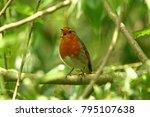 robin  erithacus rubecula   ... | Shutterstock . vector #795107638