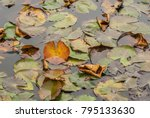 plants in the pond  pond lily... | Shutterstock . vector #795133630