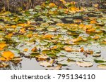 plants in the pond  pond lily... | Shutterstock . vector #795134110