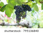 grapes in his tree | Shutterstock . vector #795136840