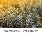 closeup fresh flavoring plants...   Shutterstock . vector #795158299