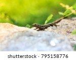 lizard is basking in the stone... | Shutterstock . vector #795158776