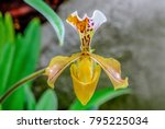 lady slipper orchid or...   Shutterstock . vector #795225034