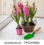 pink hyacinths with forced...   Shutterstock . vector #795249886