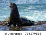 Wild Seals On La Jolla Cove In...