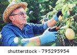 orcharding. senior man enjoying ...   Shutterstock . vector #795295954