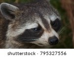 a close up of a racoon. | Shutterstock . vector #795327556