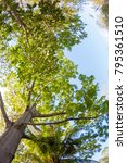 ceiba tree with long branches... | Shutterstock . vector #795361510
