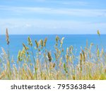 Small photo of View of dry golden yellow Polypogon grass/rabbitsfoot grass against clam blue ocean and pure blue sky. Meadows and sea. Portland, VIC Australia