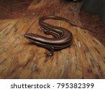 mabuya skink lizard   Shutterstock . vector #795382399