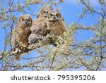 three baby great horned owls... | Shutterstock . vector #795395206