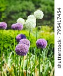 purple and white allium onion...