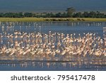 Lesser Flamingos Wading And...
