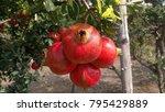 Pomegranate Fruits From Garden...