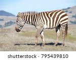 zebras  adults and baby walking ... | Shutterstock . vector #795439810