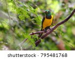 the golden breasted starling ... | Shutterstock . vector #795481768