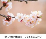 apricot tree flowers blooming... | Shutterstock . vector #795511240