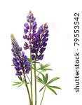 Closeup Of Purple Lupines With...