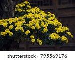 in autumn  the chrysanthemum... | Shutterstock . vector #795569176