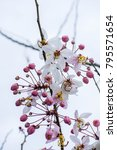 Small photo of Wild Himalayan Cherry Prunus cerasoides Plantae flower