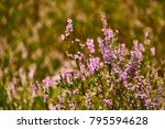 Heather Flowers Grow In A...