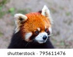 Face The Red Panda.