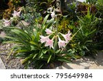 hippeastrum johnsonii bury wan...