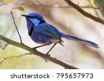 a male splendid fairy wren ... | Shutterstock . vector #795657973