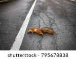 adult squirrel hit by car on... | Shutterstock . vector #795678838