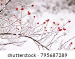 Rosehip Berries Covered With...