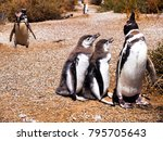 group of cute penguins with...   Shutterstock . vector #795705643